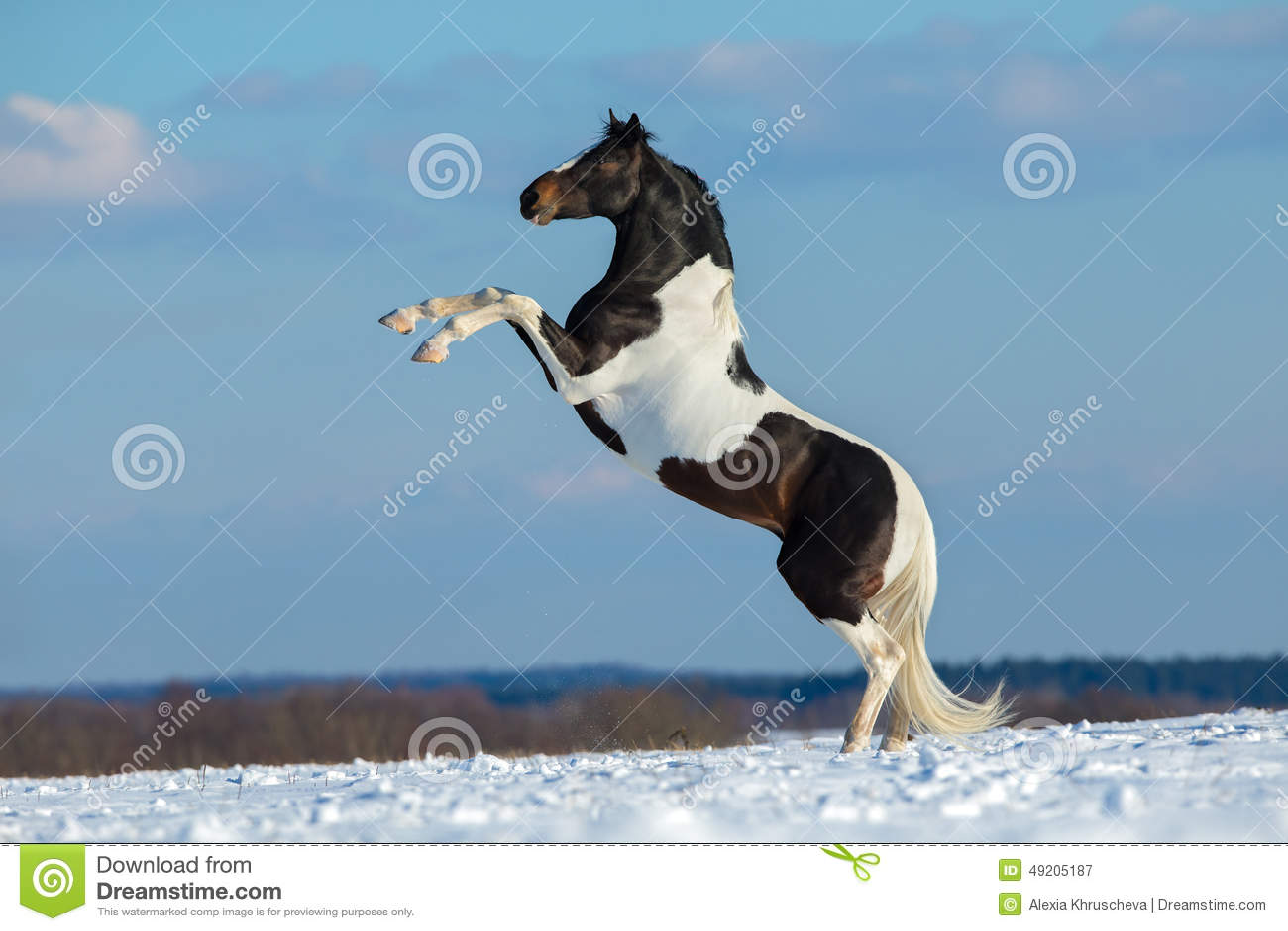 Pinte o cavalo levantam-se no fundo do inverno