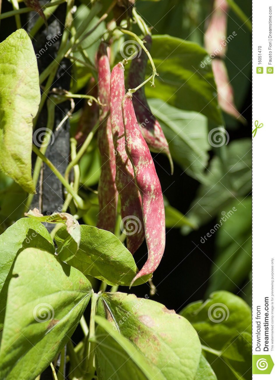 Pinto Beans Stock Photo Image Of Natural Ingredient 16051470