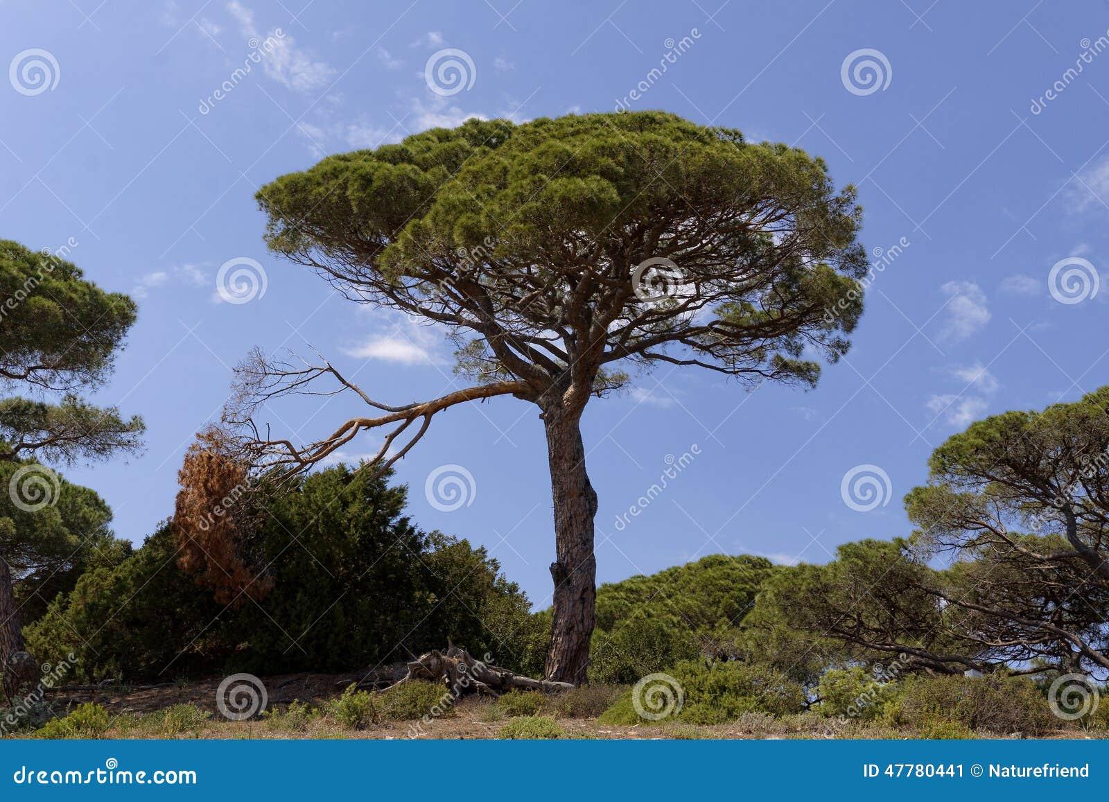 Pinus Pinea 48798a1629d