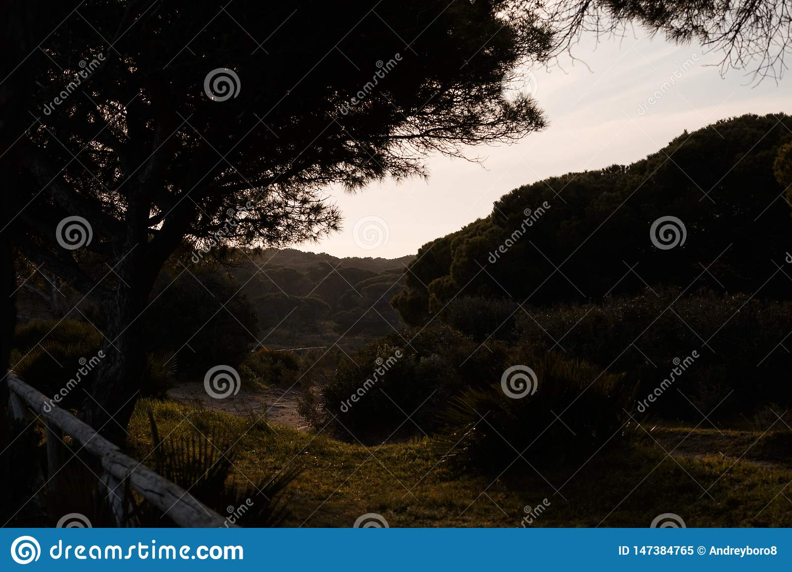 Pinus- Pineab?ume auf Sonnenuntergang