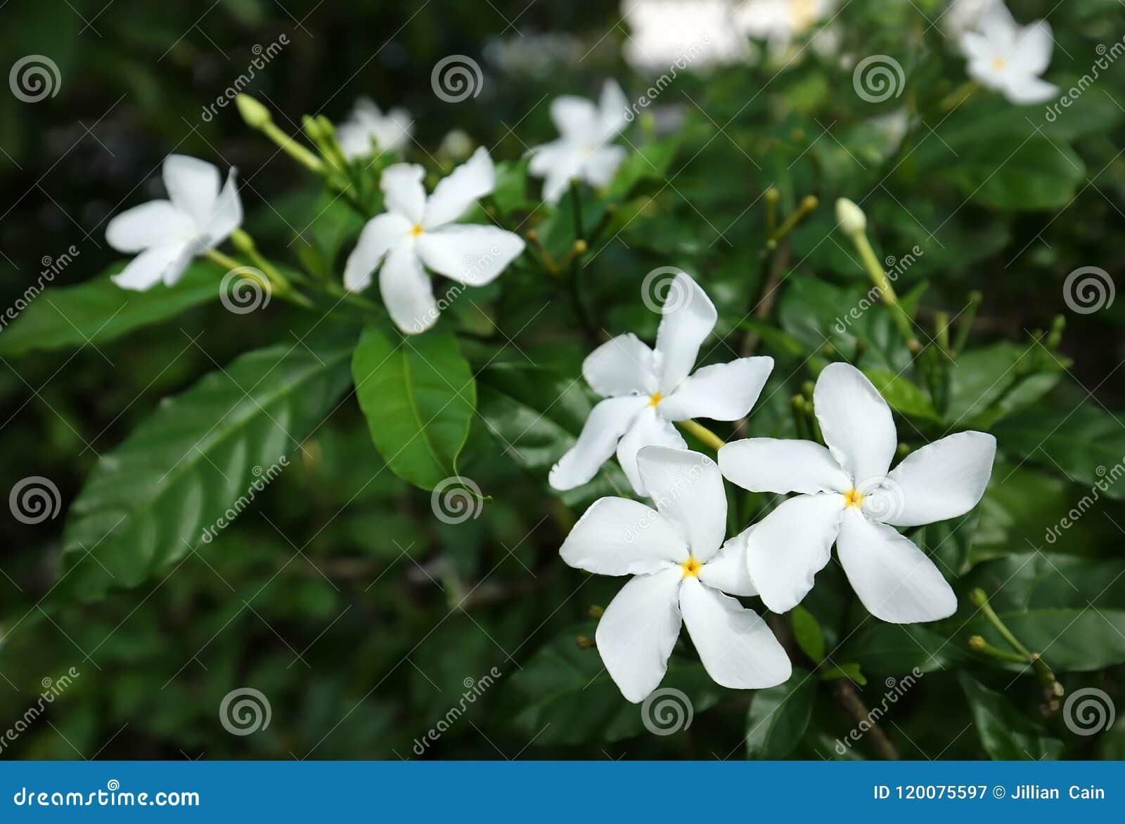 Pinwheel Jasmine Flowers Stock Image Image Of Flora 120075597