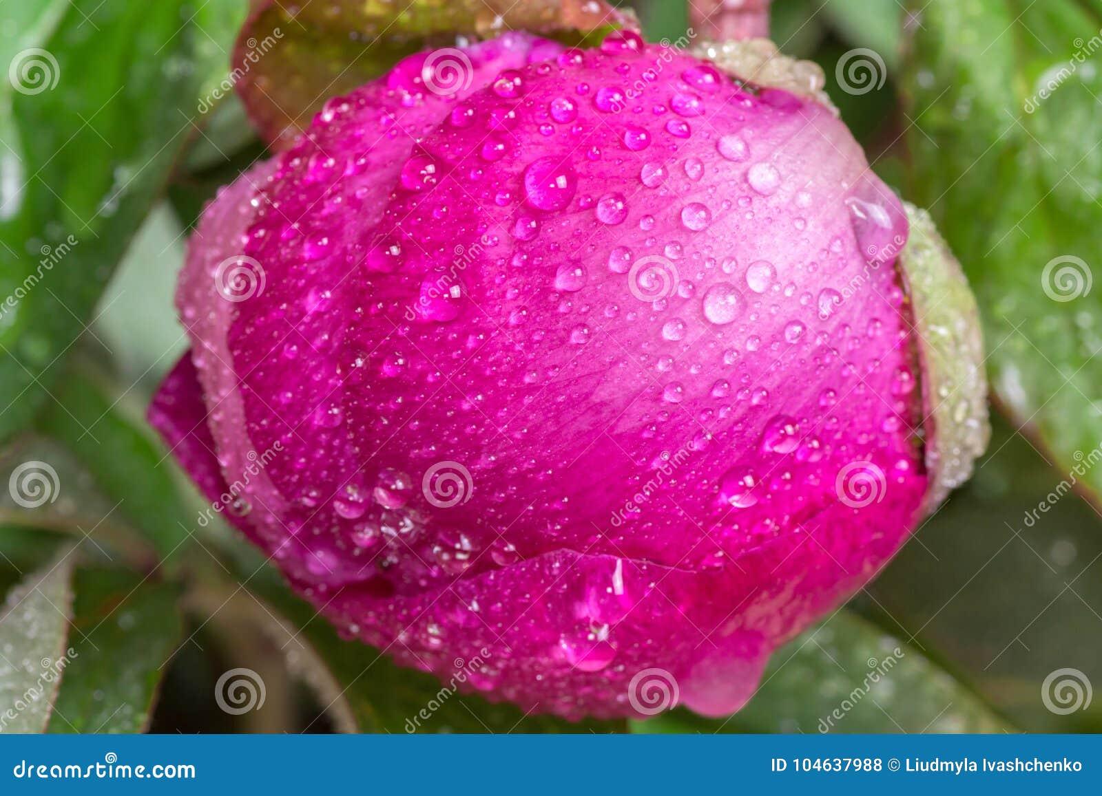 Download Pioenknop Met Dalingen Van Dauw Een Grote Roze De Lentebloem Stock Foto - Afbeelding bestaande uit bloesem, daling: 104637988