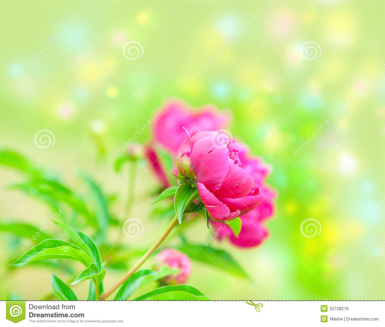Pion. Beautiful Spring Flowers Royalty Free Stock Images - Image ...