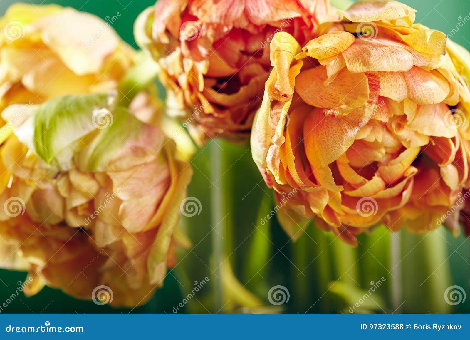 Pion eller Finola Double Tulip på grön bakgrund
