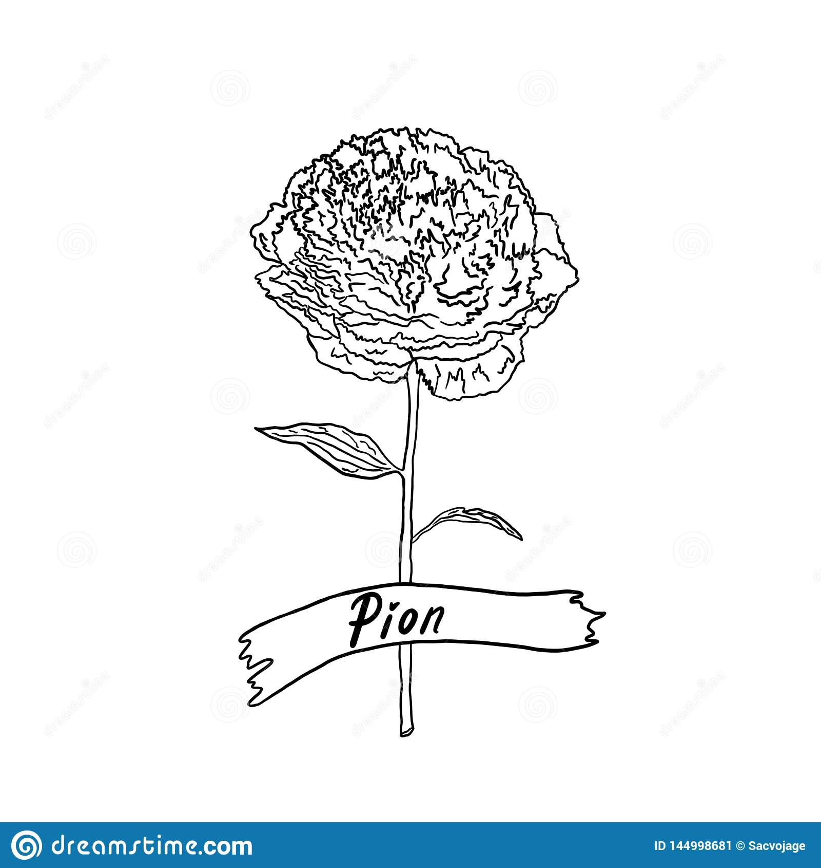 Pion flower on the stem. Black and white outline illustration.