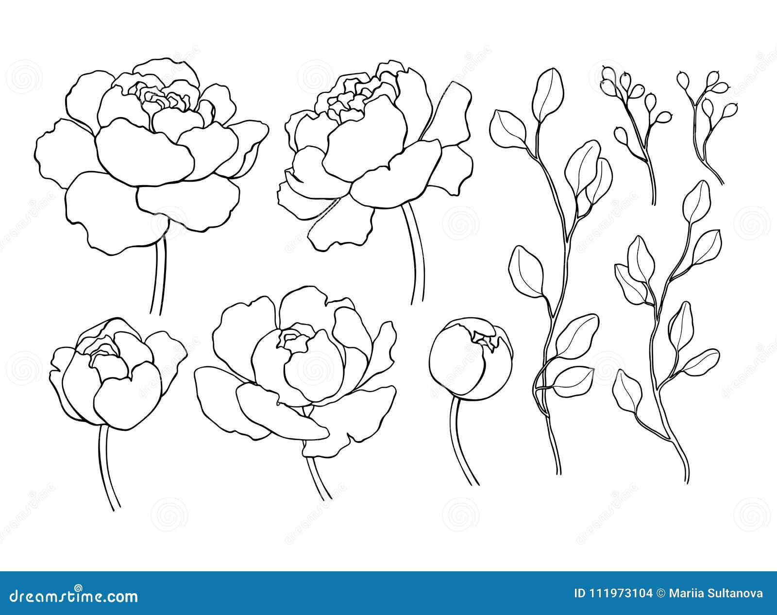 Pionblomma och sidalinje teckning Dragen översikt för vektor hand