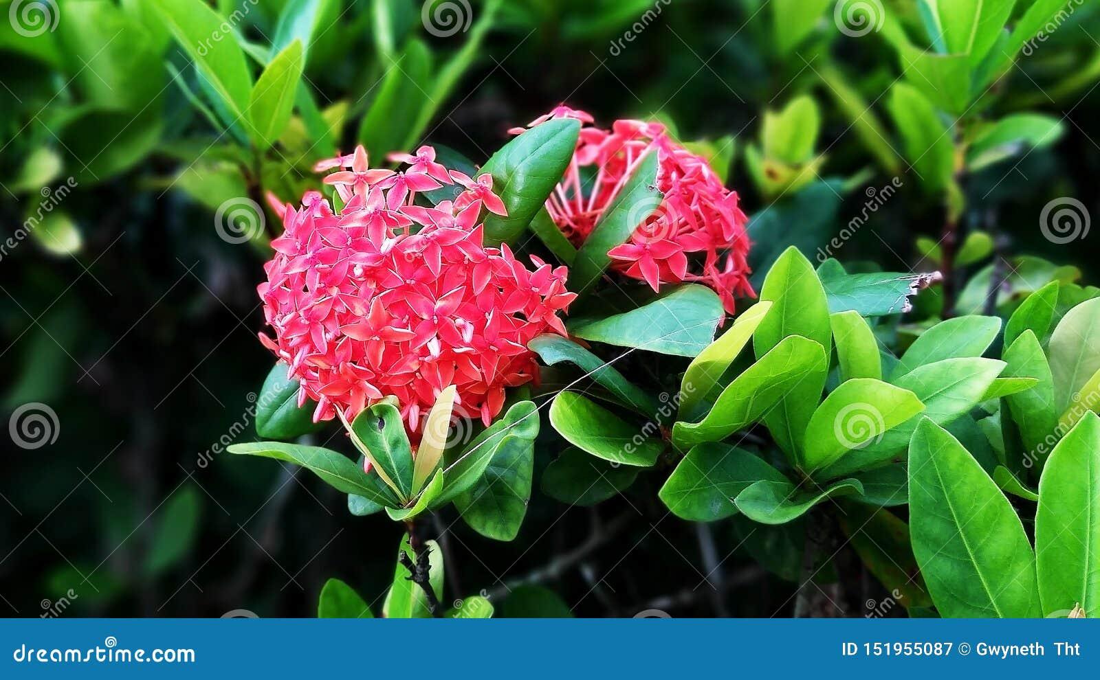 Pionblommor blommar rött på de gröna bladklungorna
