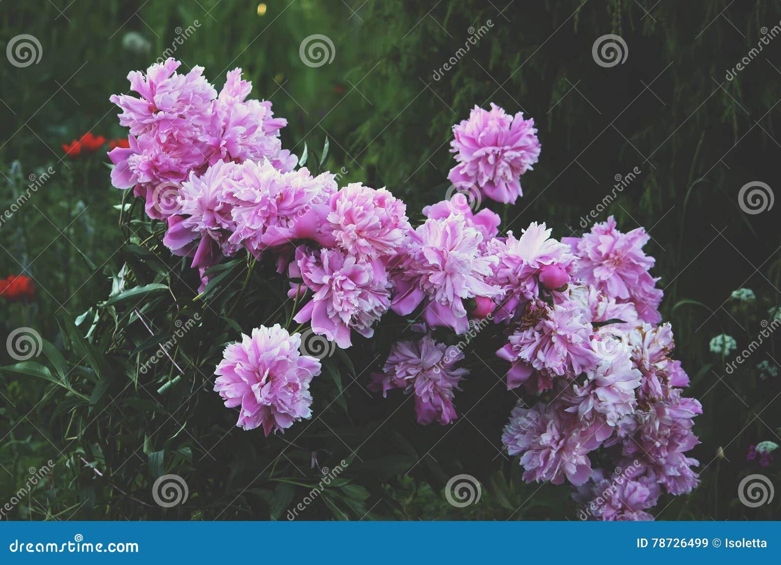 Pionen blommar i trädgården