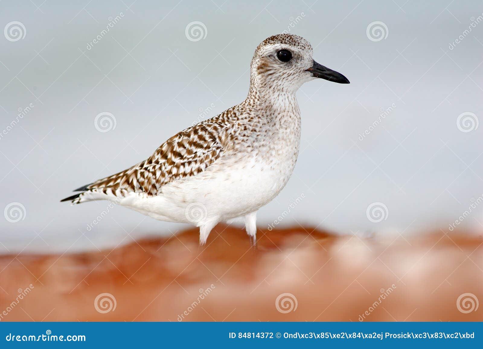 Piovanello di Semipalmated, pusilla del Calidris, uccello acquatico del mare nell habitat della natura Animale sull uccello bianc