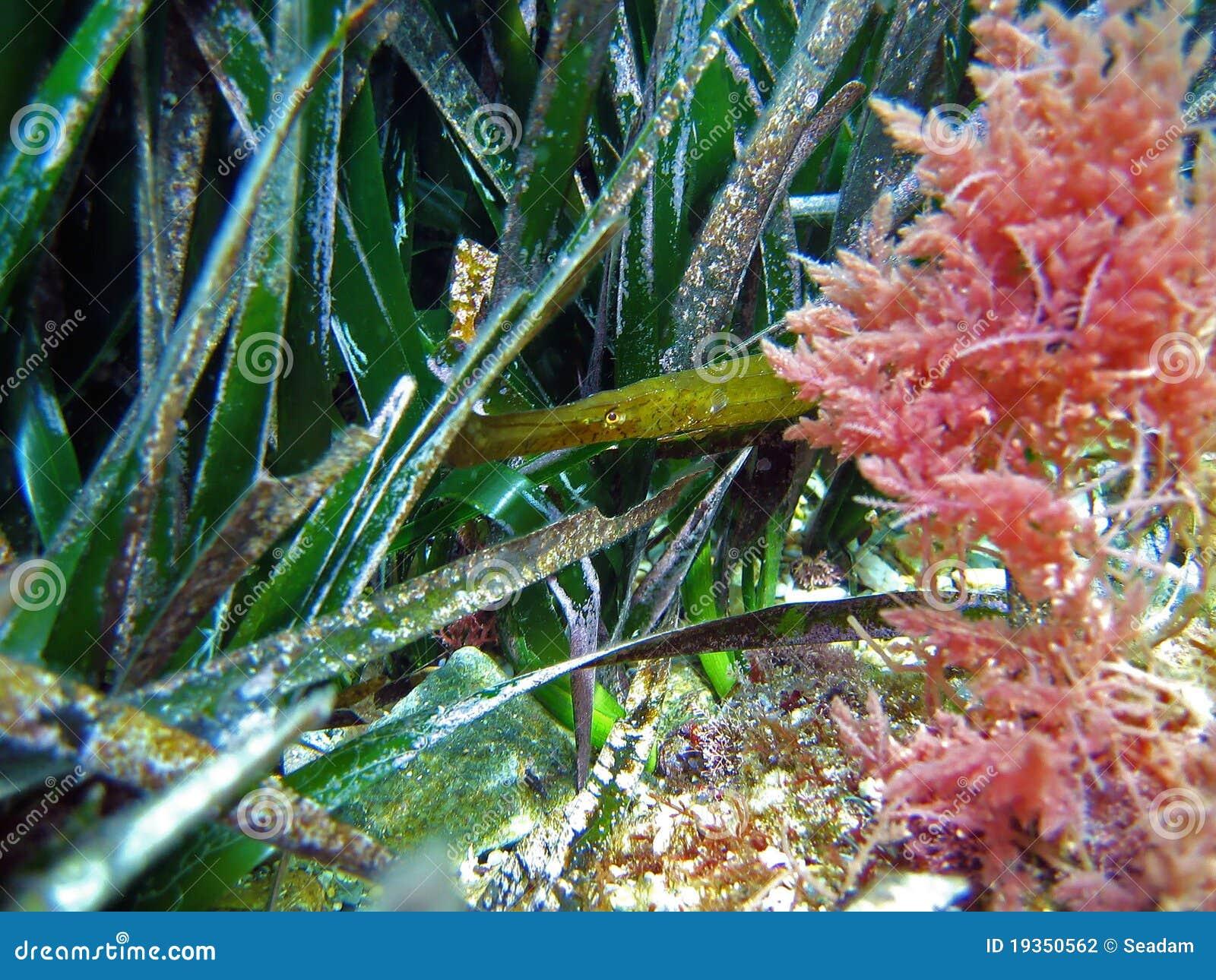 Pipefish da alga