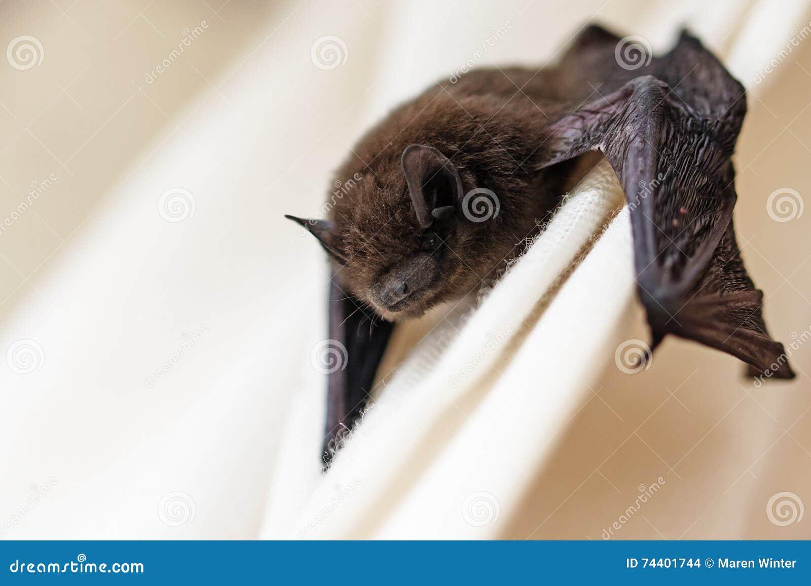 Pipistrelle commun (pipistrellus de Pipistrellus) une petite batte sur a