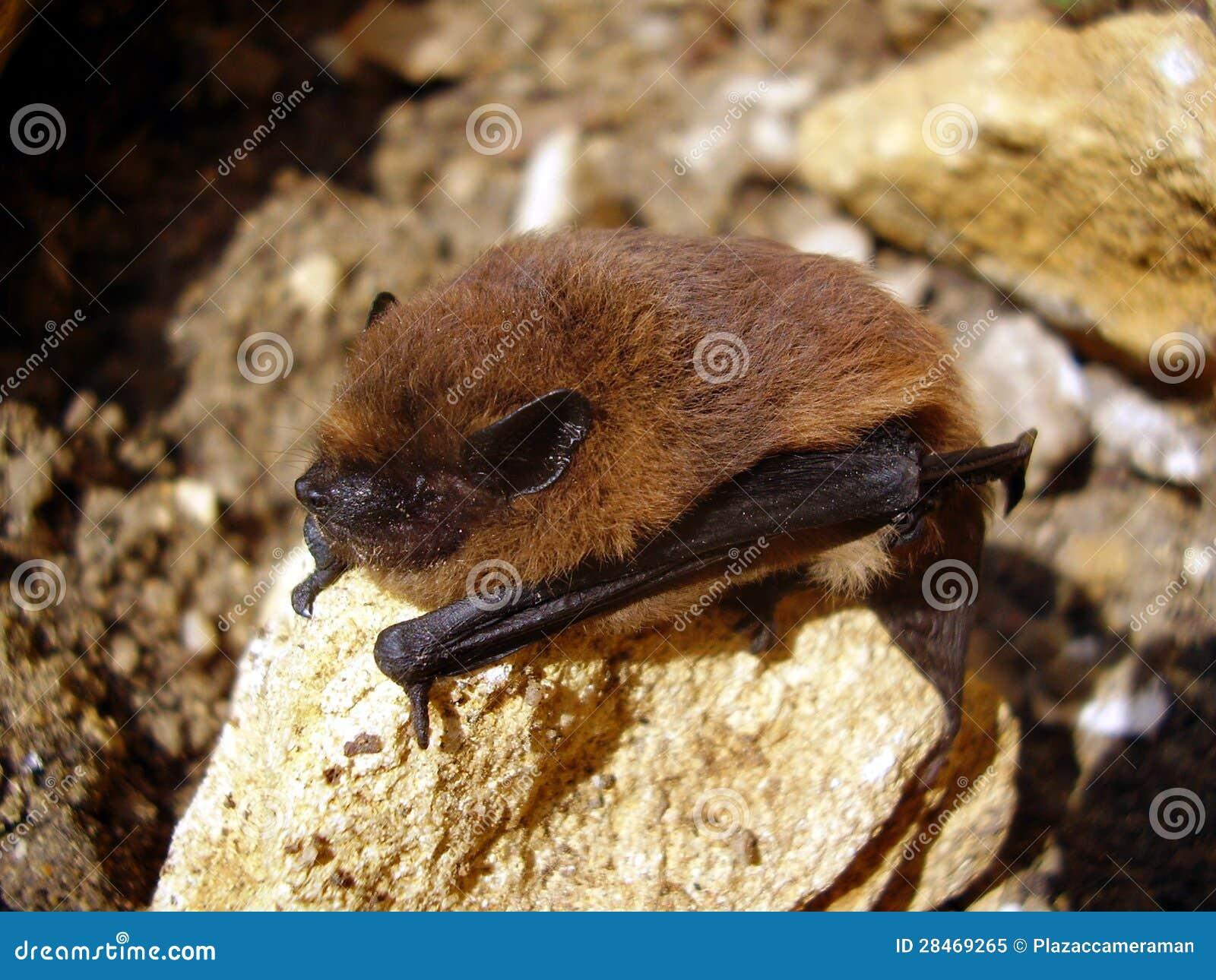 Pipistrelle nietoperz