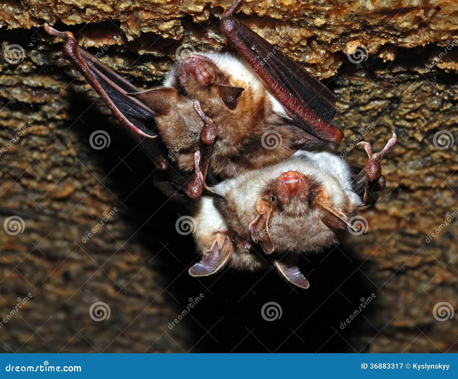 Download Pipistrello immagine stock. Immagine di caverna, habitat - 36883317