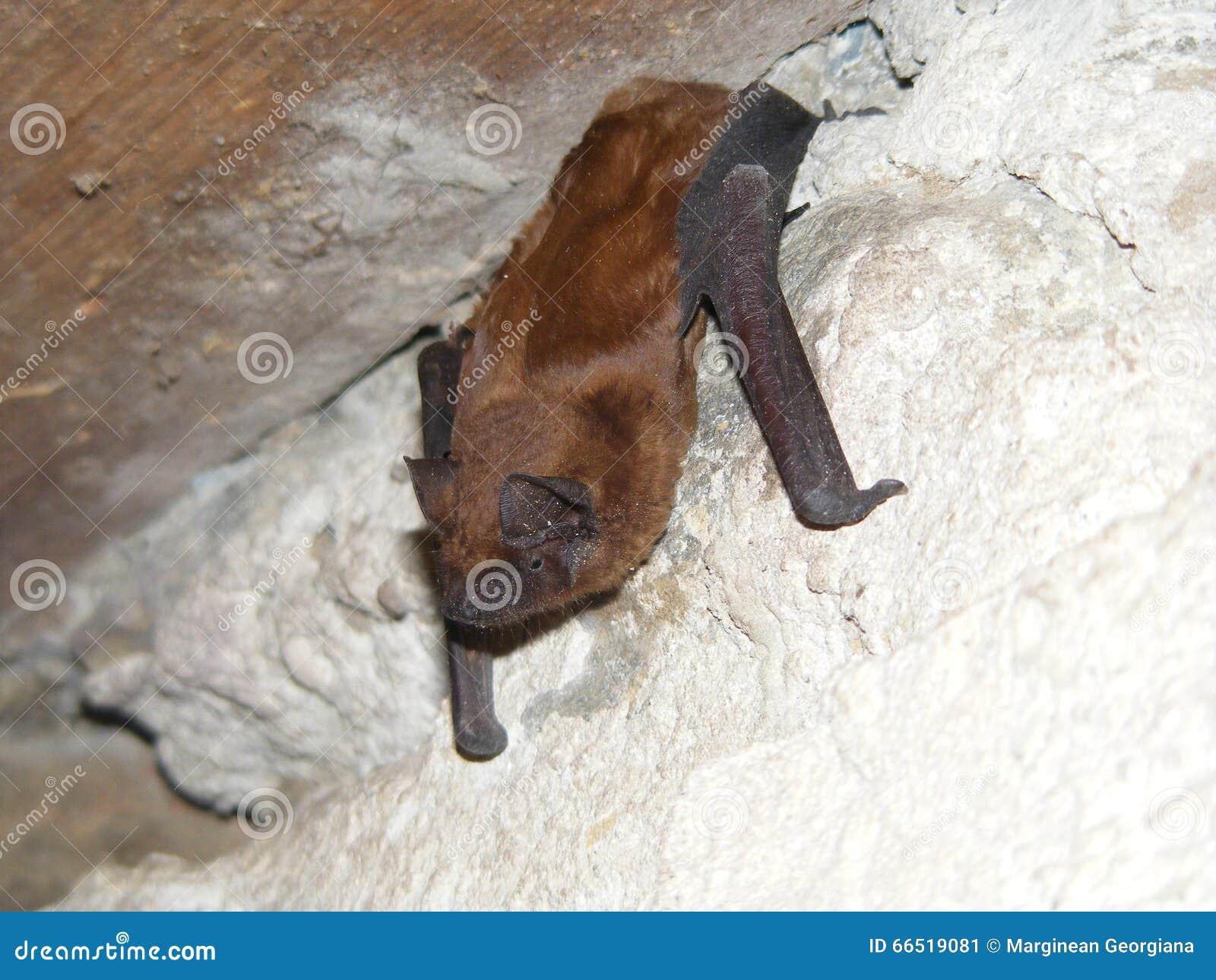 Pipistrello crepuscolare