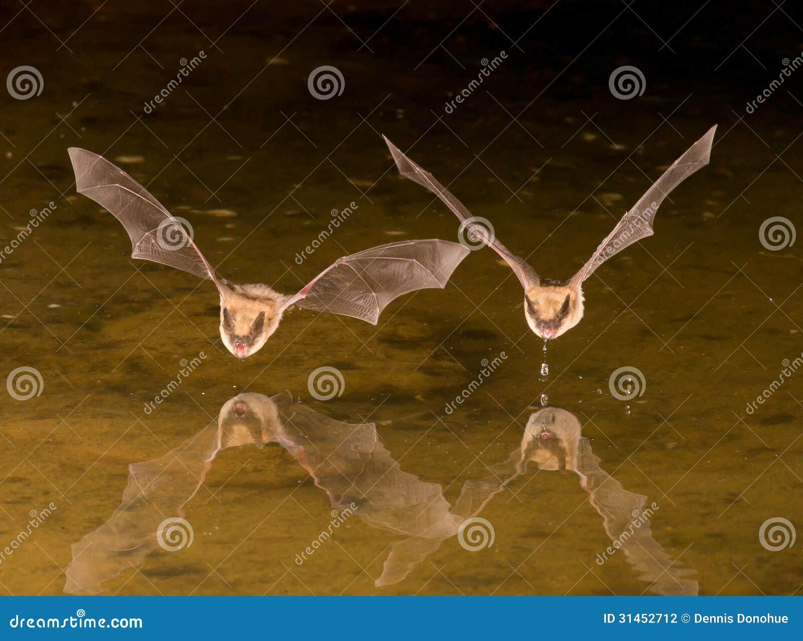 Pipistrello in volo