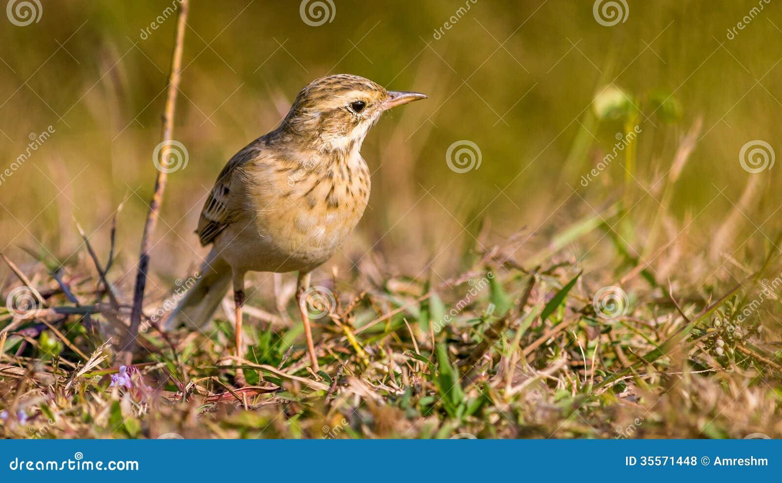 Pipit commun petit oiseau la hauteur d 39 oeil photos for Oiseau commun