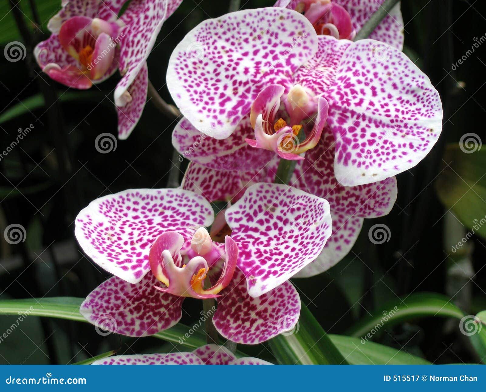 Pique orquídeas