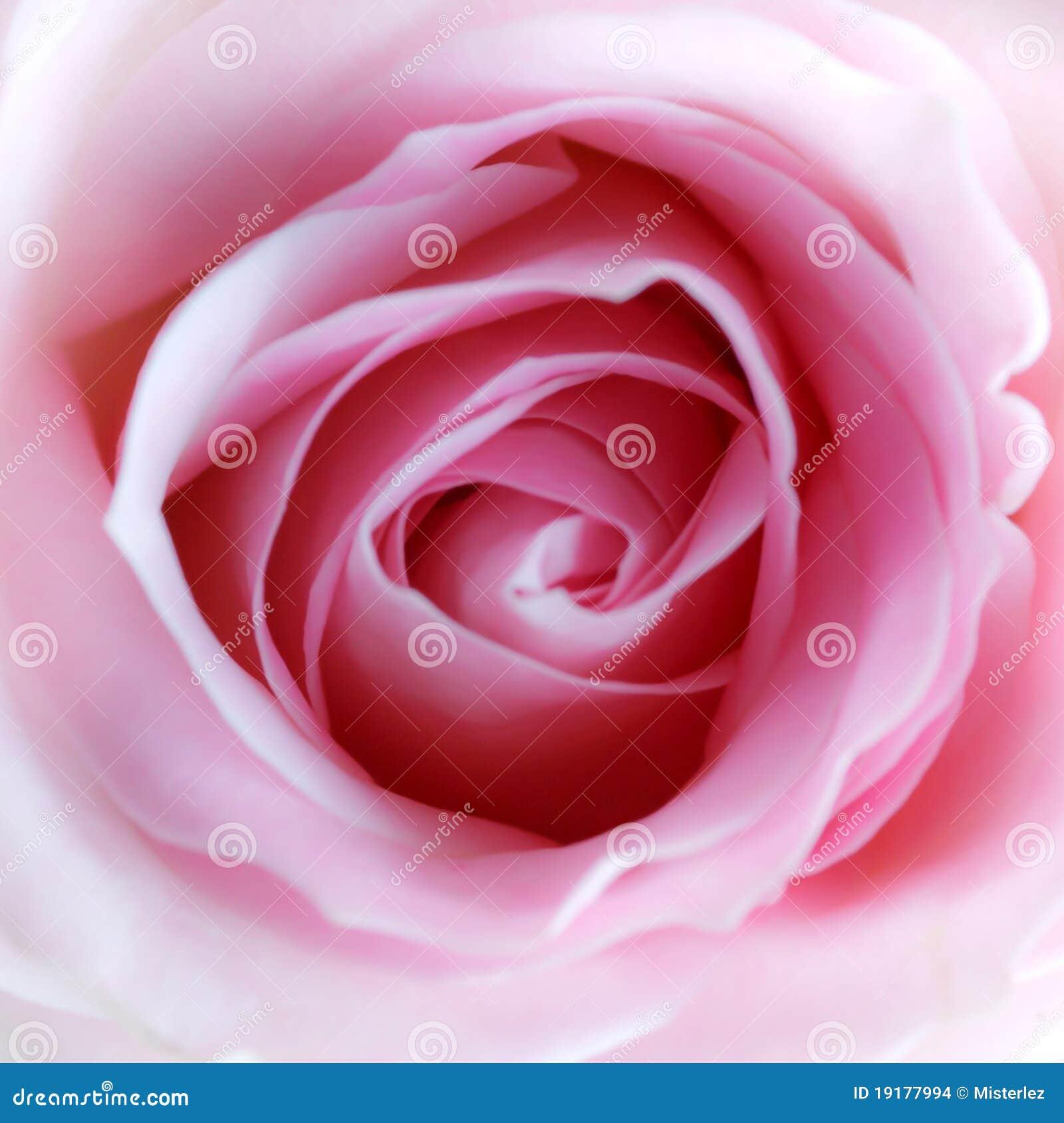 Pique a Rose