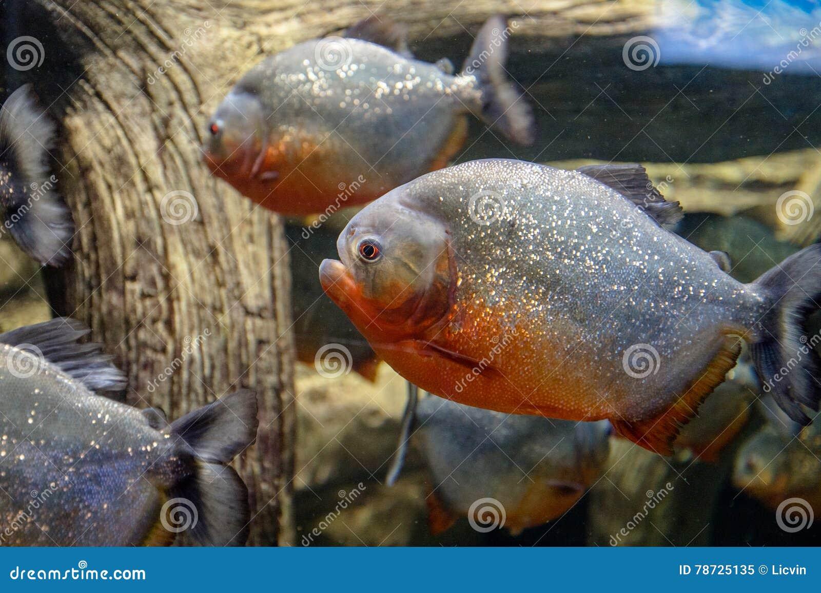 Piranha för två fisk