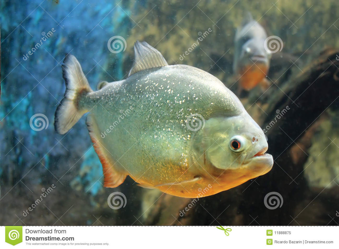 Piranha Fish stock image  Image of fish, life, under - 11888875