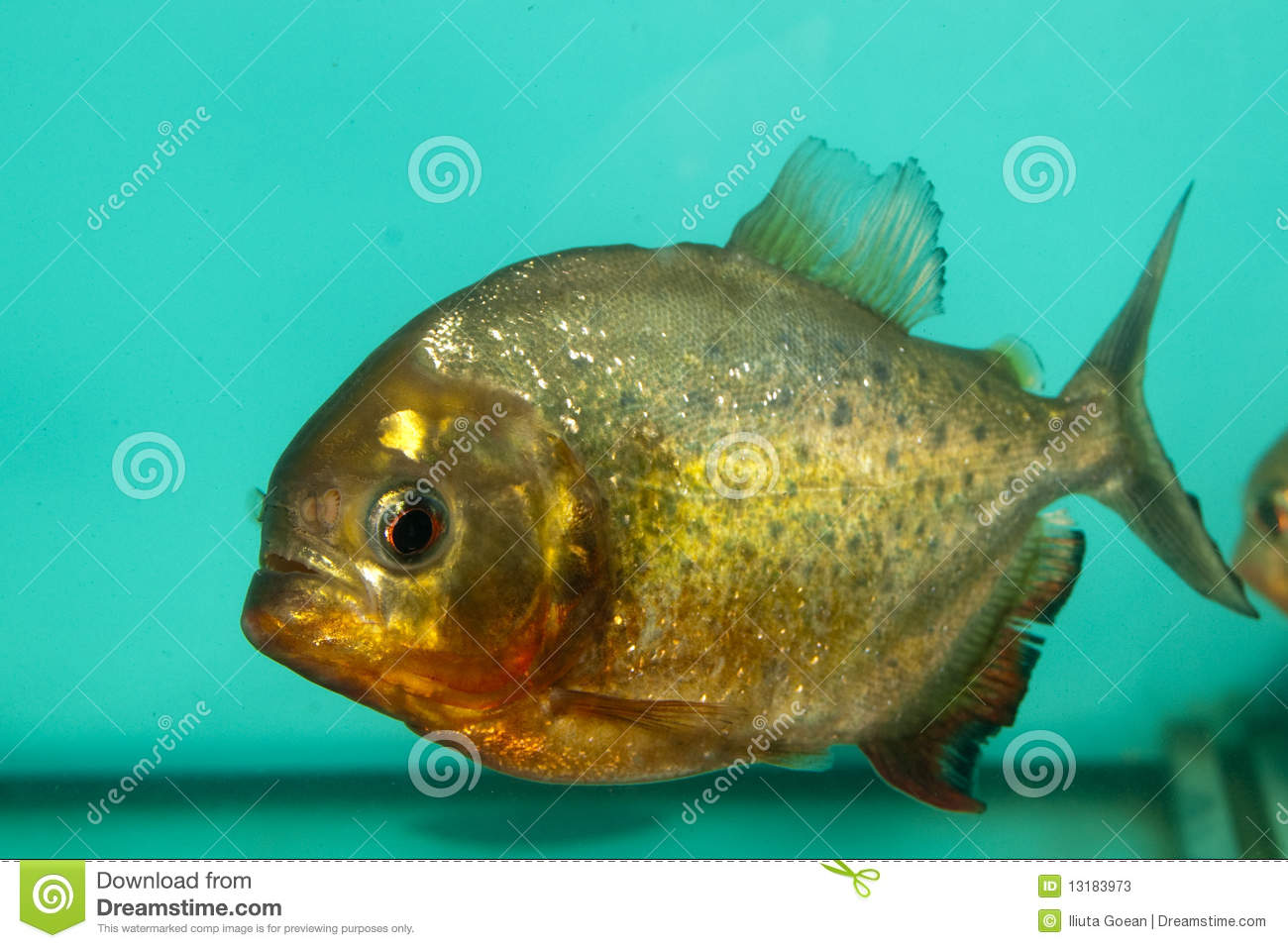 Piranha Fish In Aquarium Stock Photos - Image: 13183973