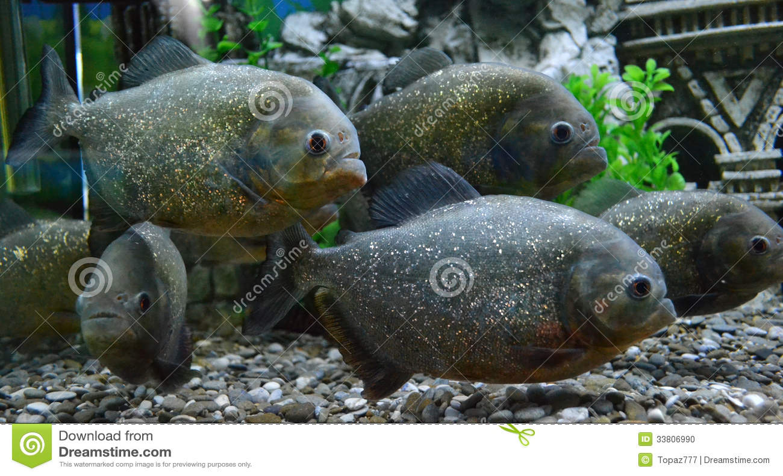 Piranha fish in an aquarium stock photo image 33806990 for Piranha fish tank