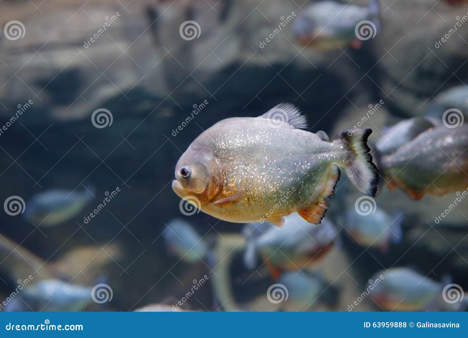 Piranha fish stock photo image 63959888 for Predatory freshwater fish