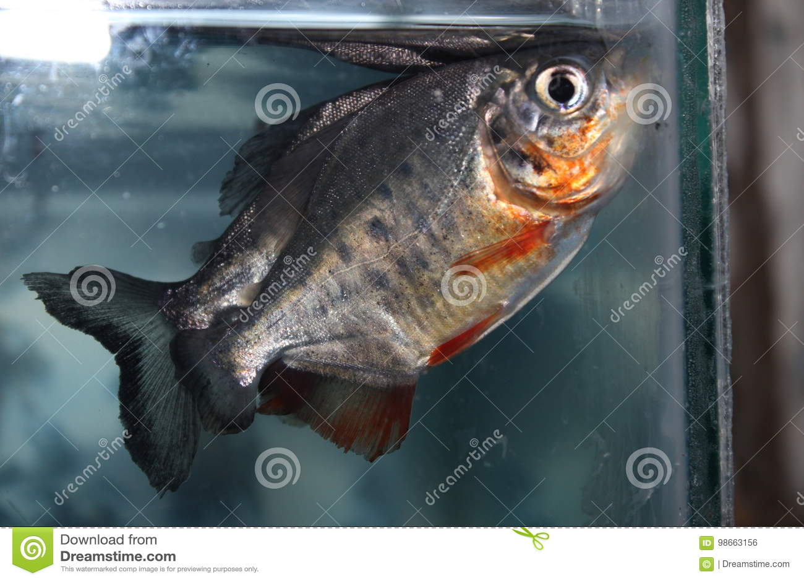 piranha fish stock photo. image of piranhas, piranha - 98663156