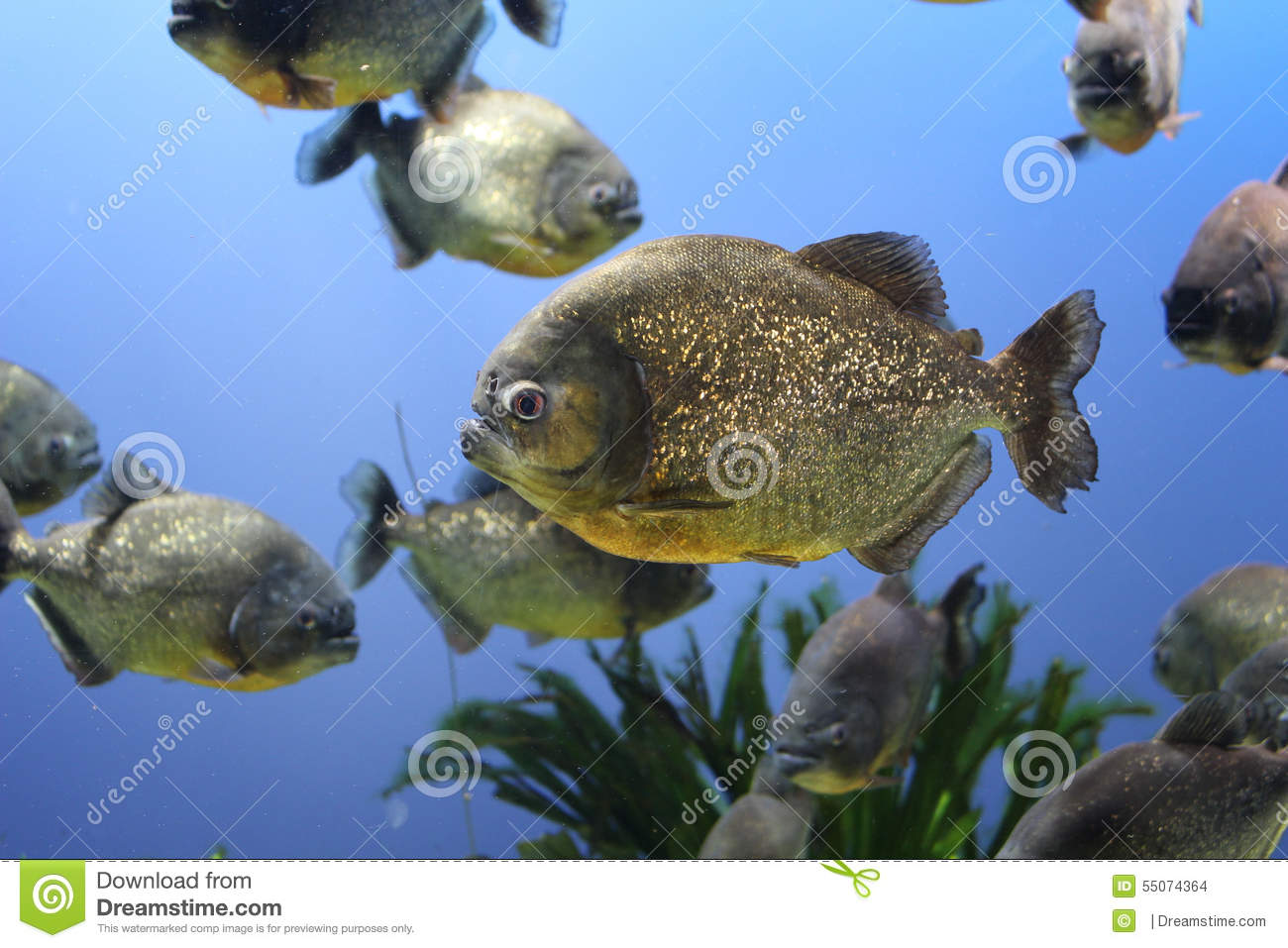 Piranha stock photo image 55074364 for Is fish bad for you