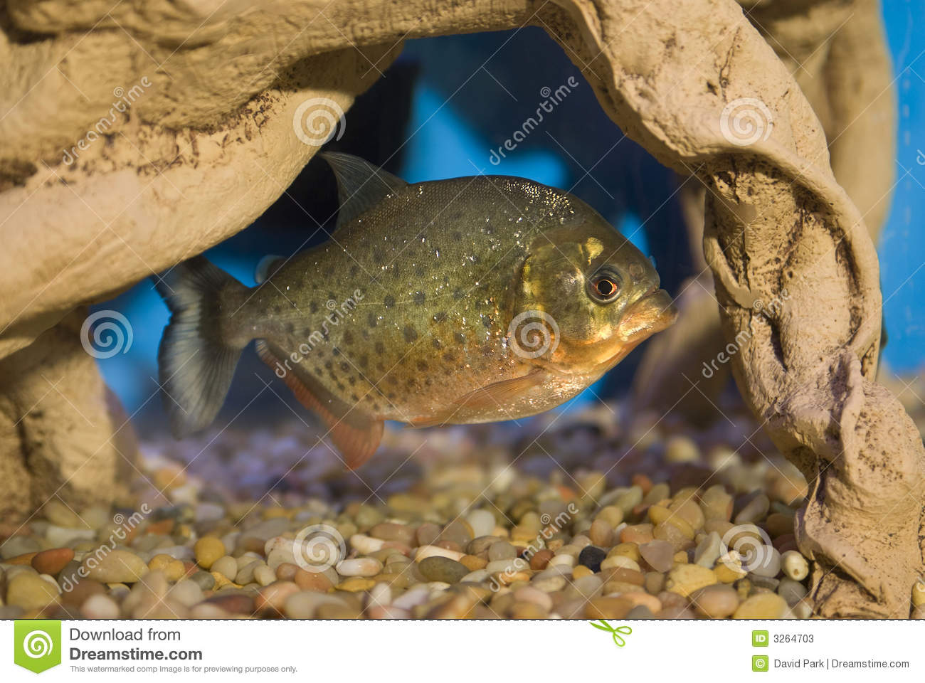 Piranha Pet Stock Image Image Of Freshwater Belly Dangerous 3264703
