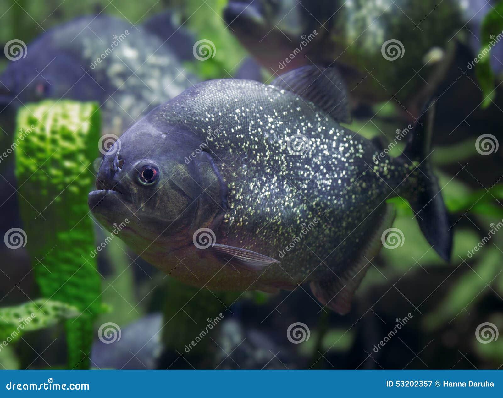 Freshwater aquarium fish piranha - Piranha Predatory Fish Dangerous Fish Royalty Free Stock Photography