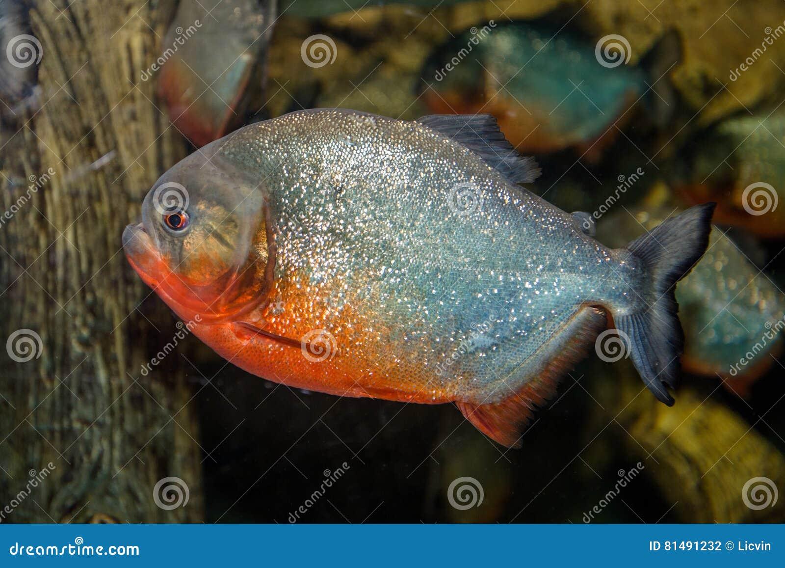 Piranha ryba