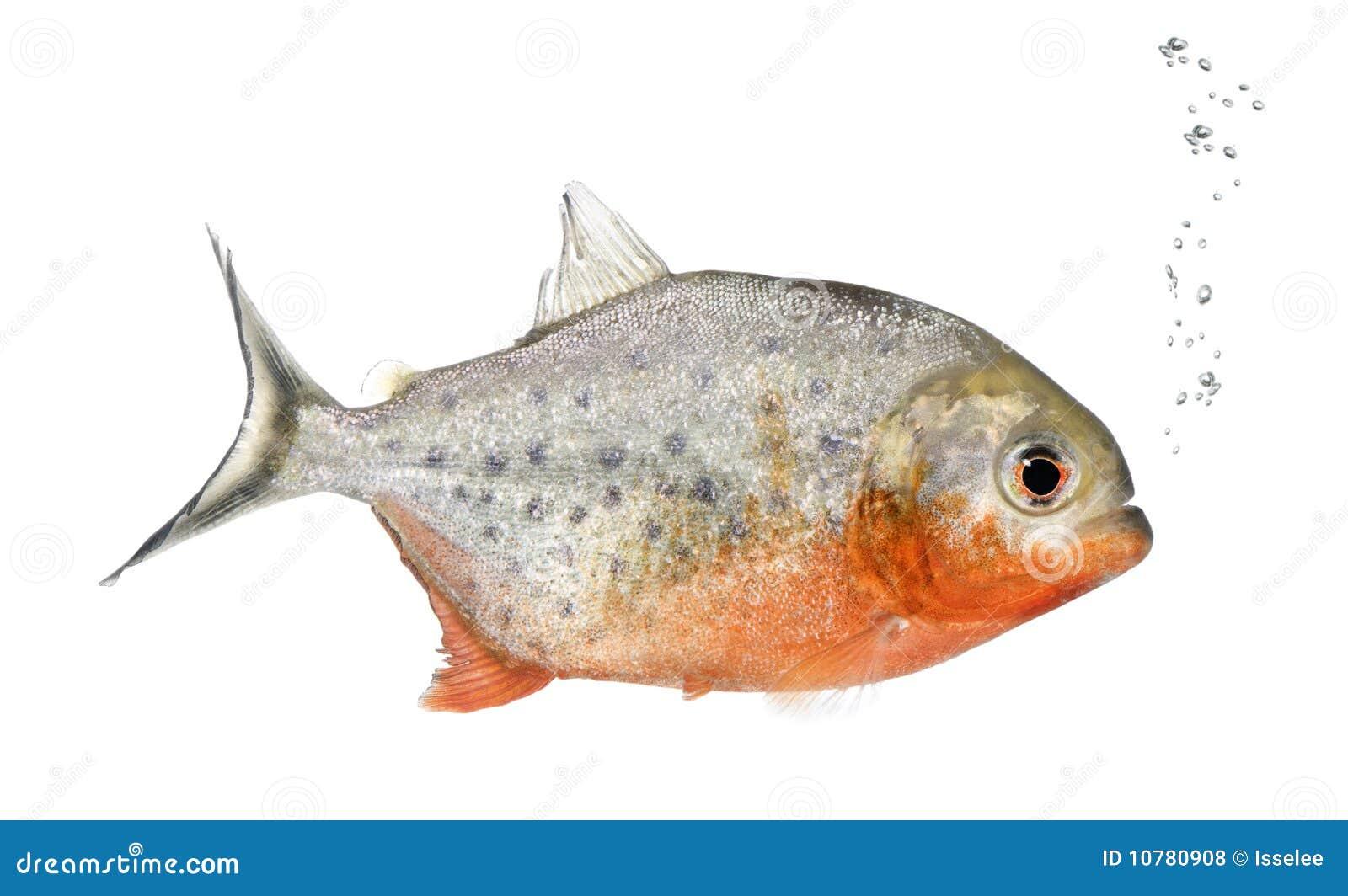 Piranha, Serrasalmus nattereri, studioschot