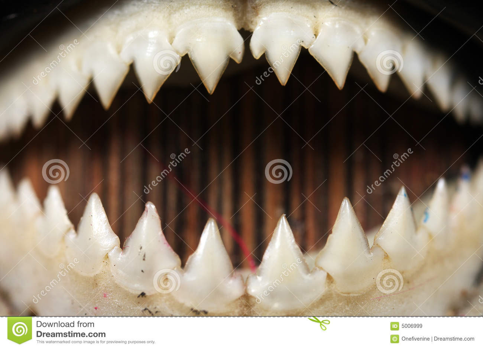Piranha Teeth Close-up Royalty Free Stock Images