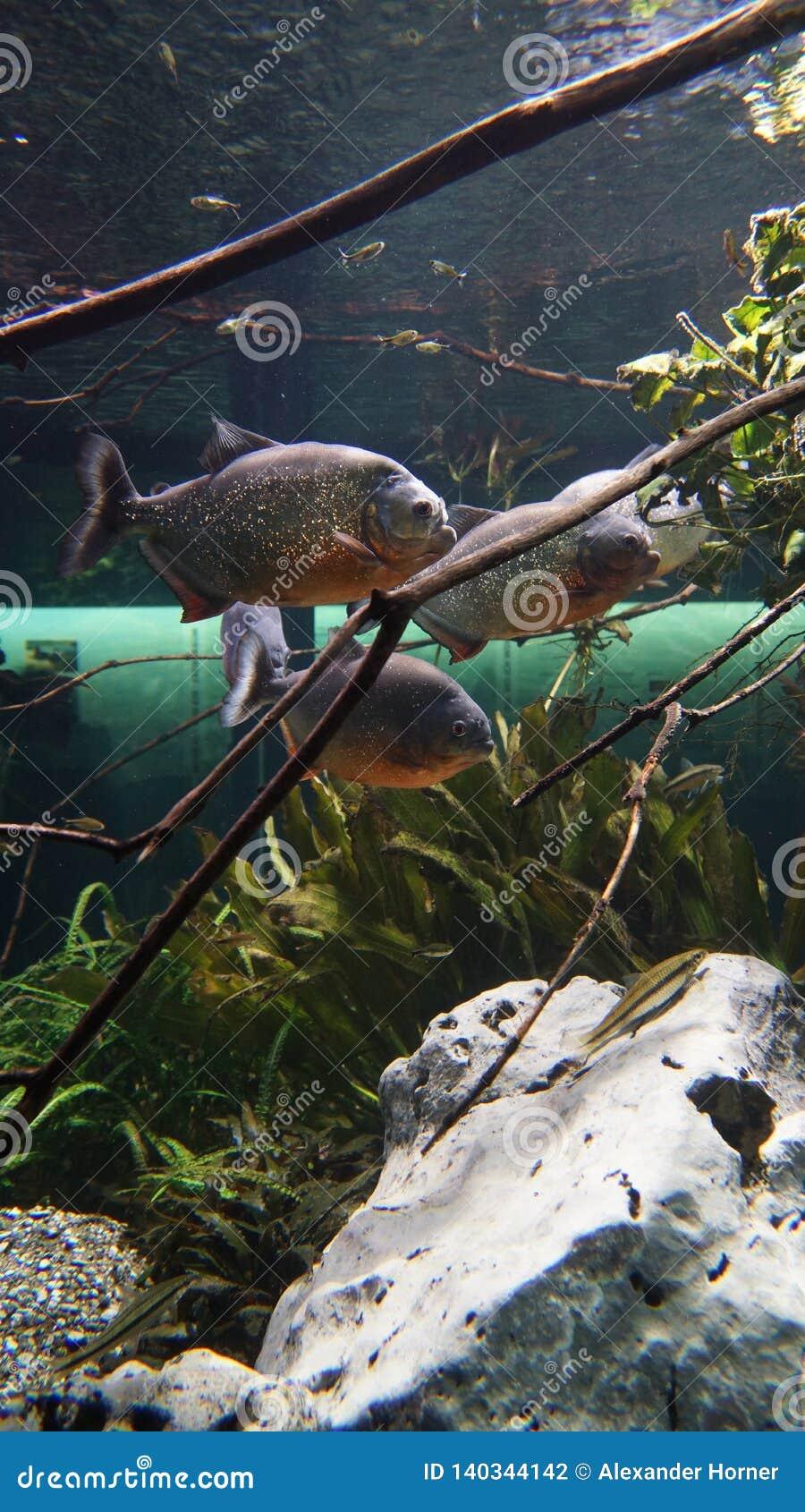 Piranhas que nadam em amazonas do enxame