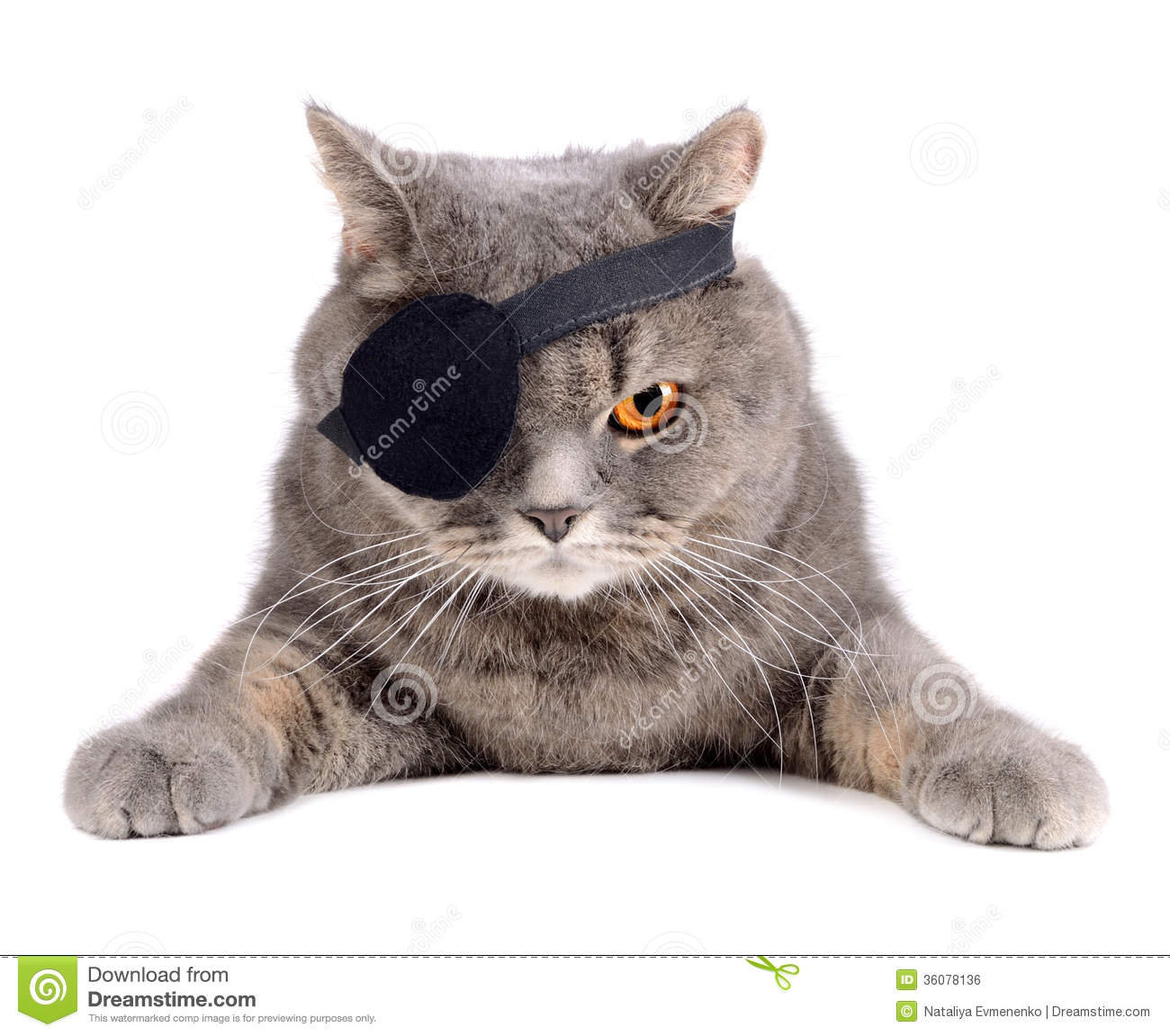 British cat in caribbean pirate costume with eye patch.