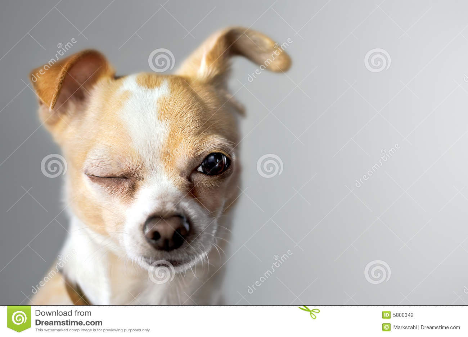 Pisc a chihuahua parece dizer olá!