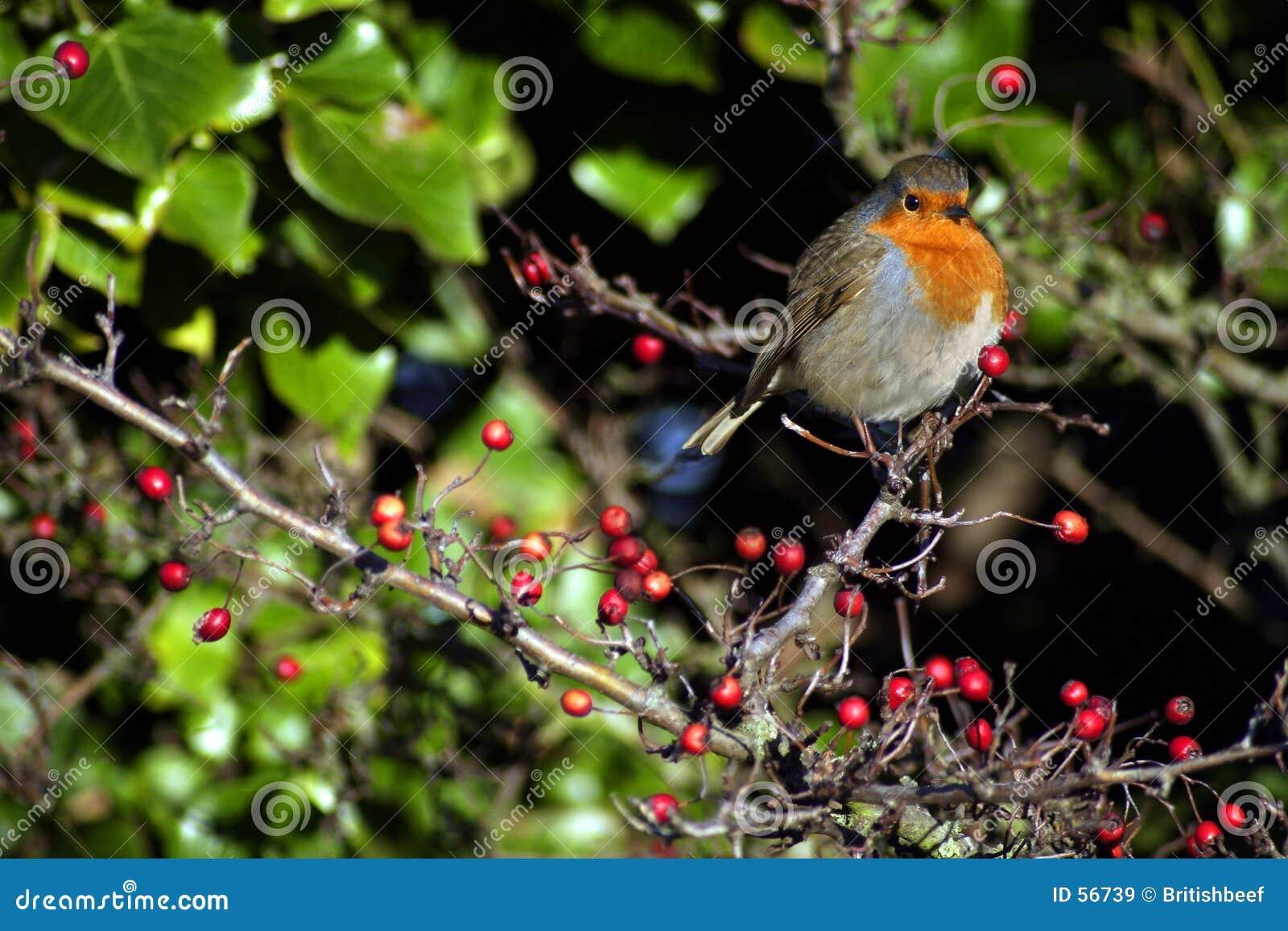 Pisco de peito vermelho do inverno