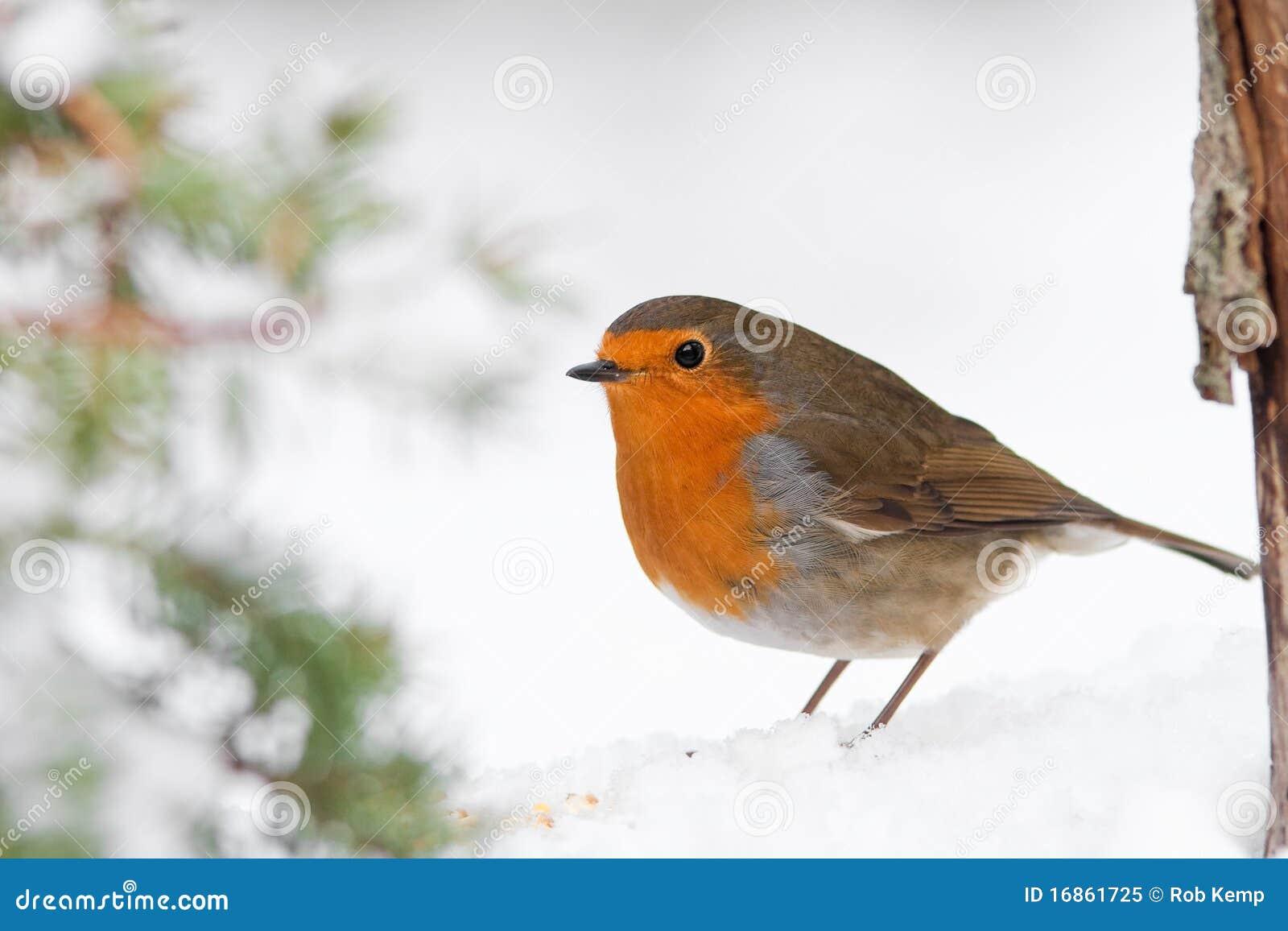 Pisco de peito vermelho do inverno do Natal na neve com árvore de pinho