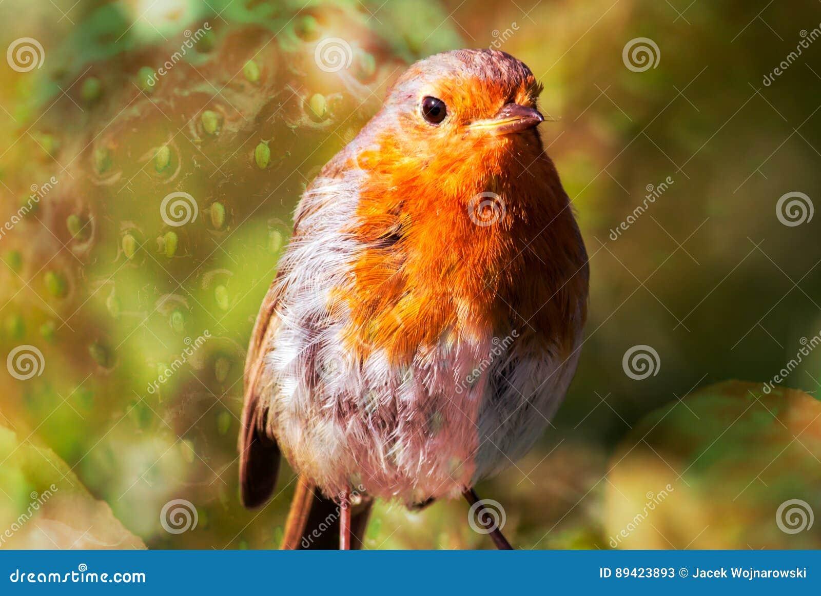 Pisco de peito vermelho do pássaro com textura B da morango