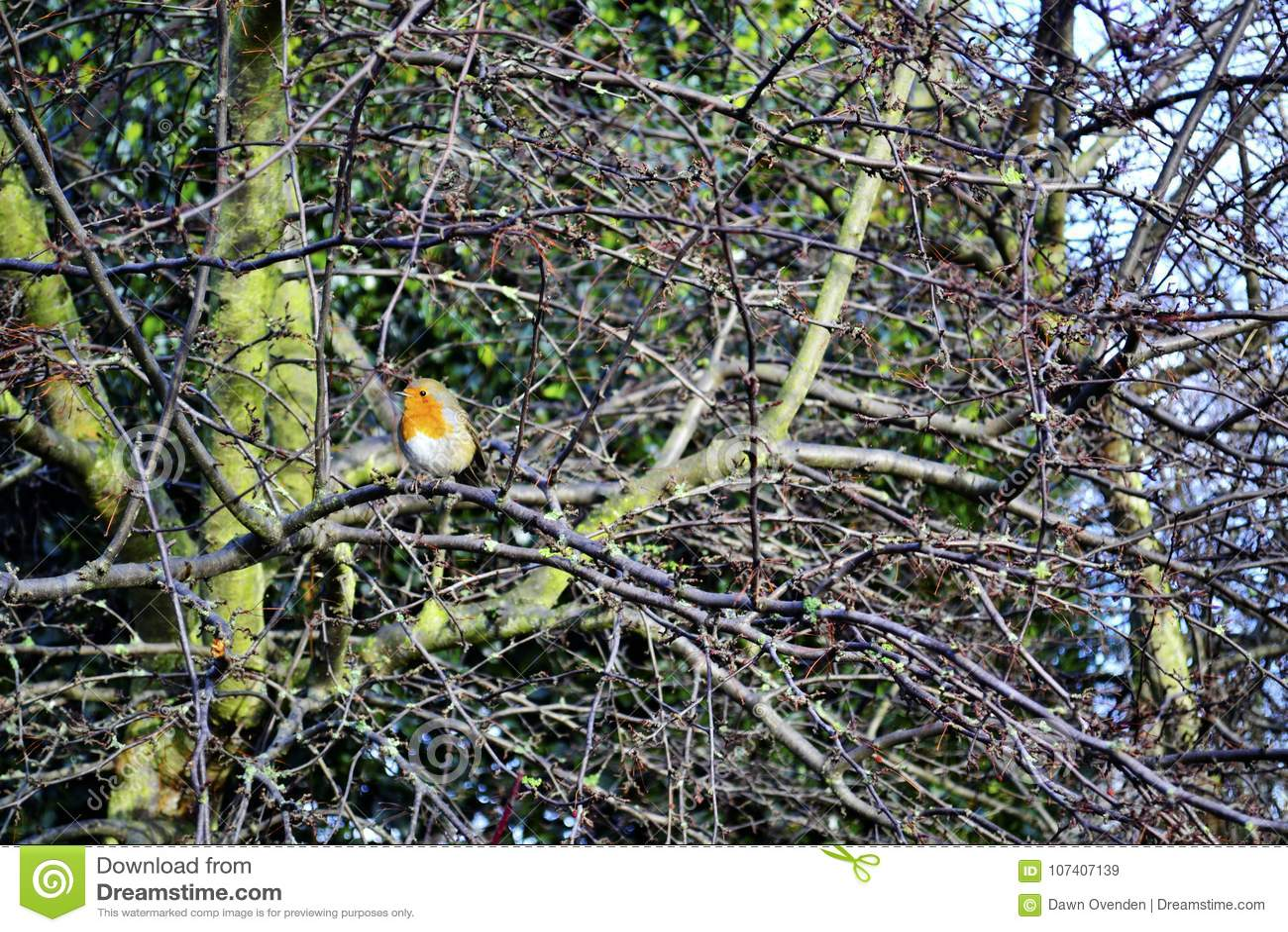 Pisco de peito vermelho de peito encarnado em ramos de árvore desencapados