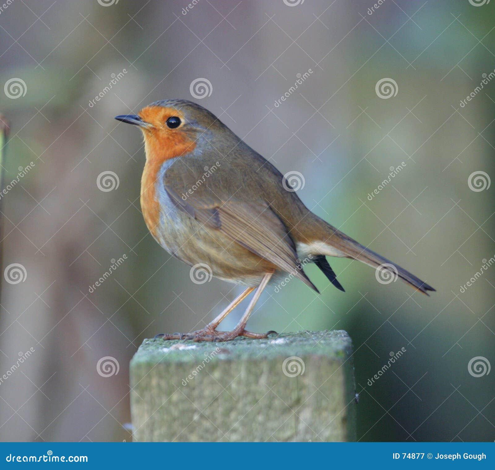 Pisco de peito vermelho (europeu)