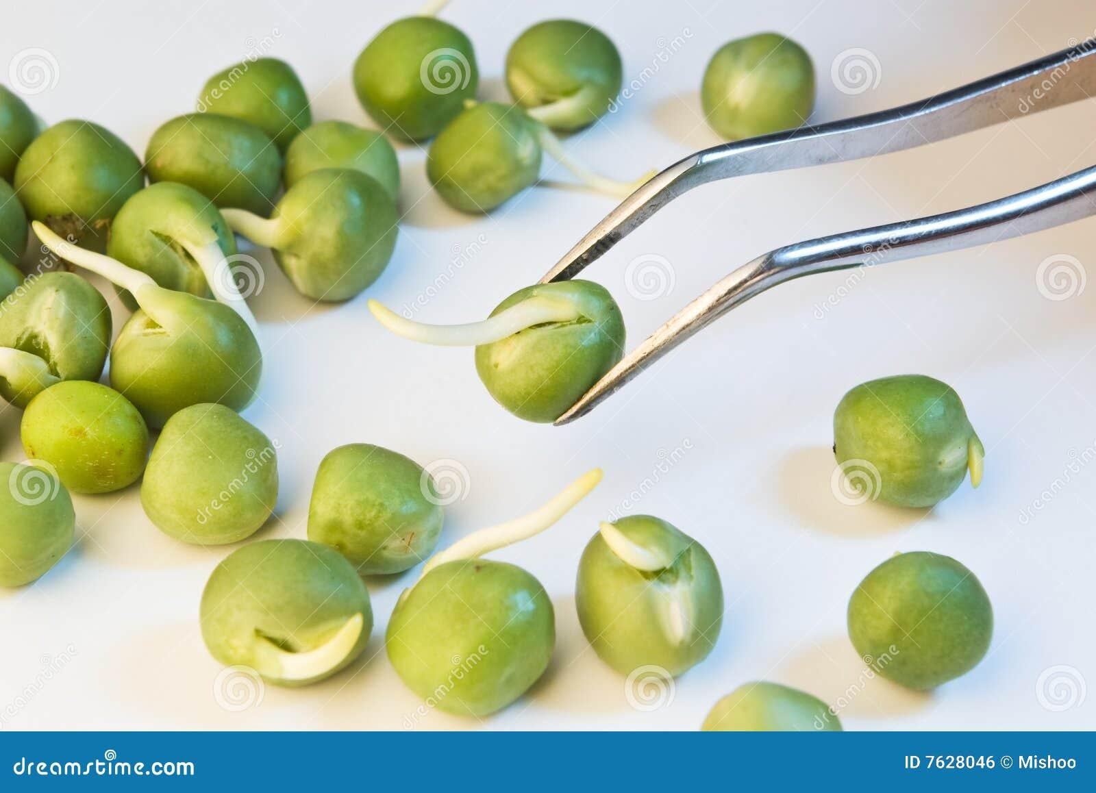 Piselli germinati