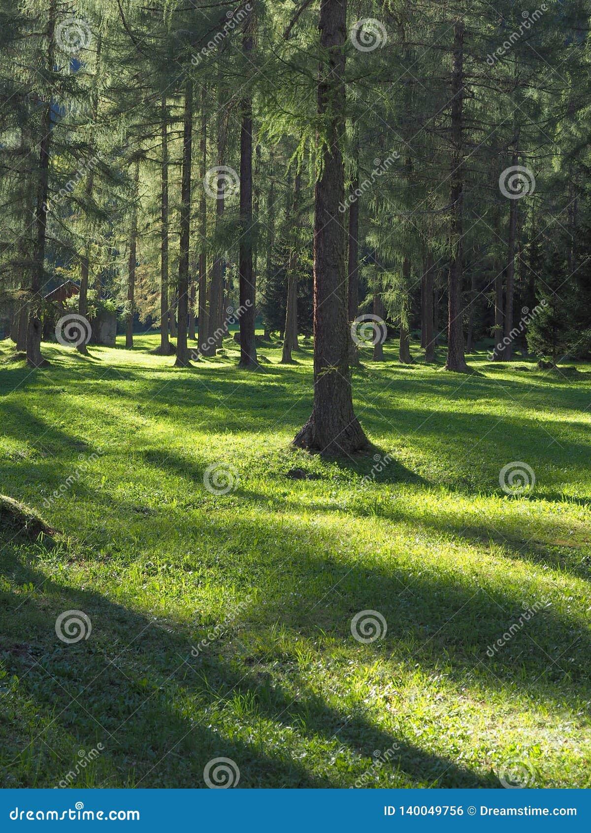 Piso del bosque con las sombras en el sol de igualación