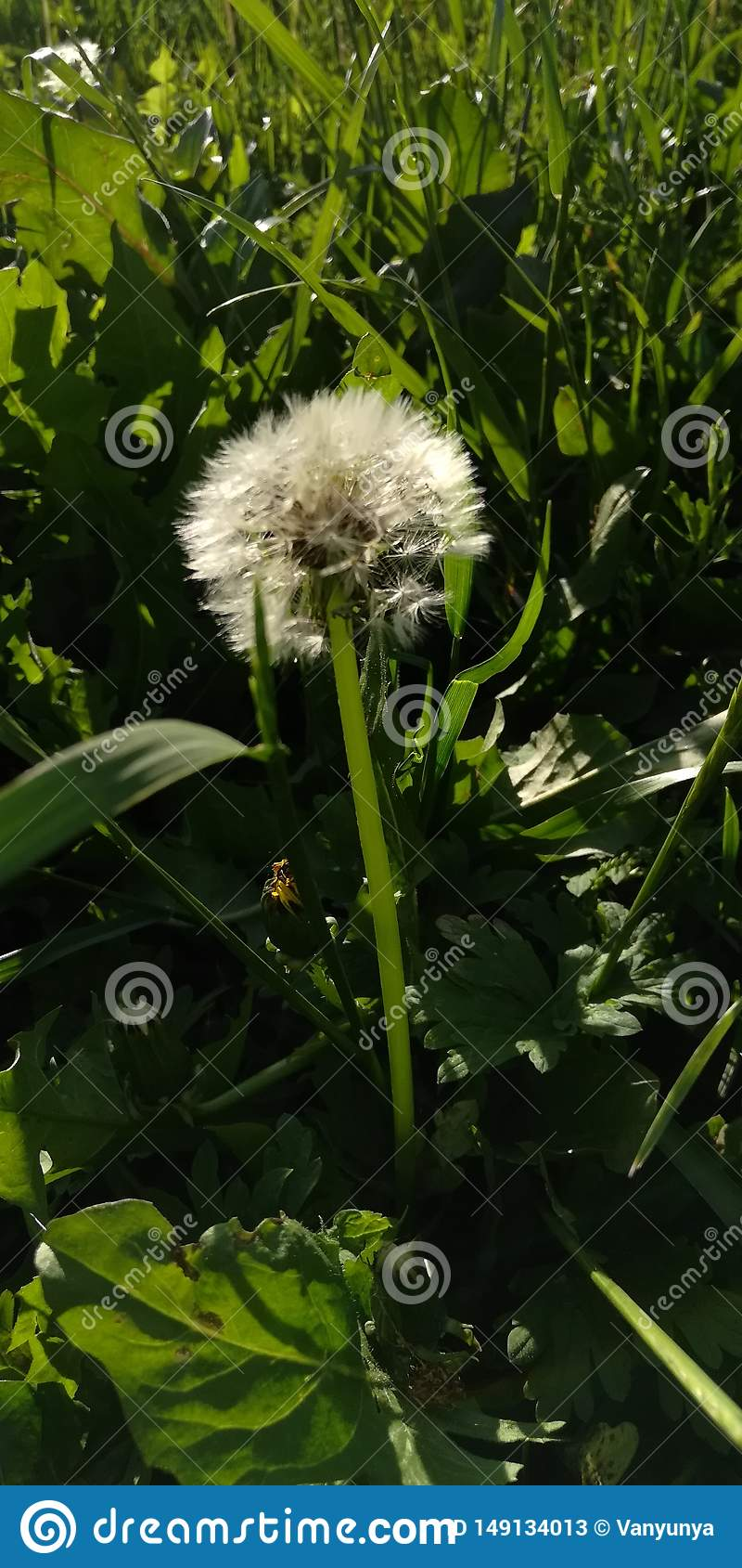 Pissenlit pelucheux blanc dans l herbe verte