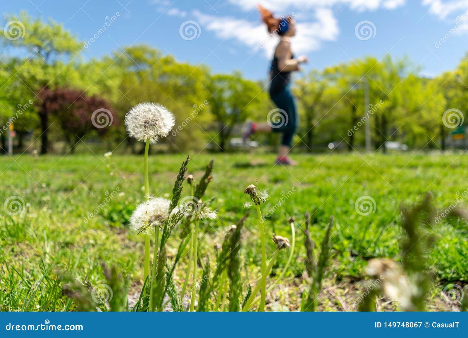 Pissenlits avec l abondance des graines, se tenant dans un pré d herbe verte luxuriante, une belle et ensoleillée journée de prin