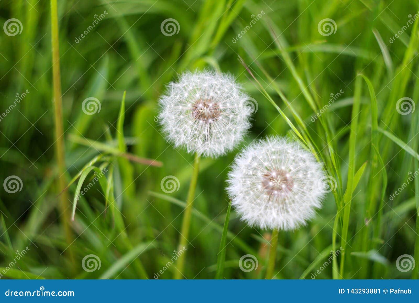 Pissenlits sur l herbe de fond