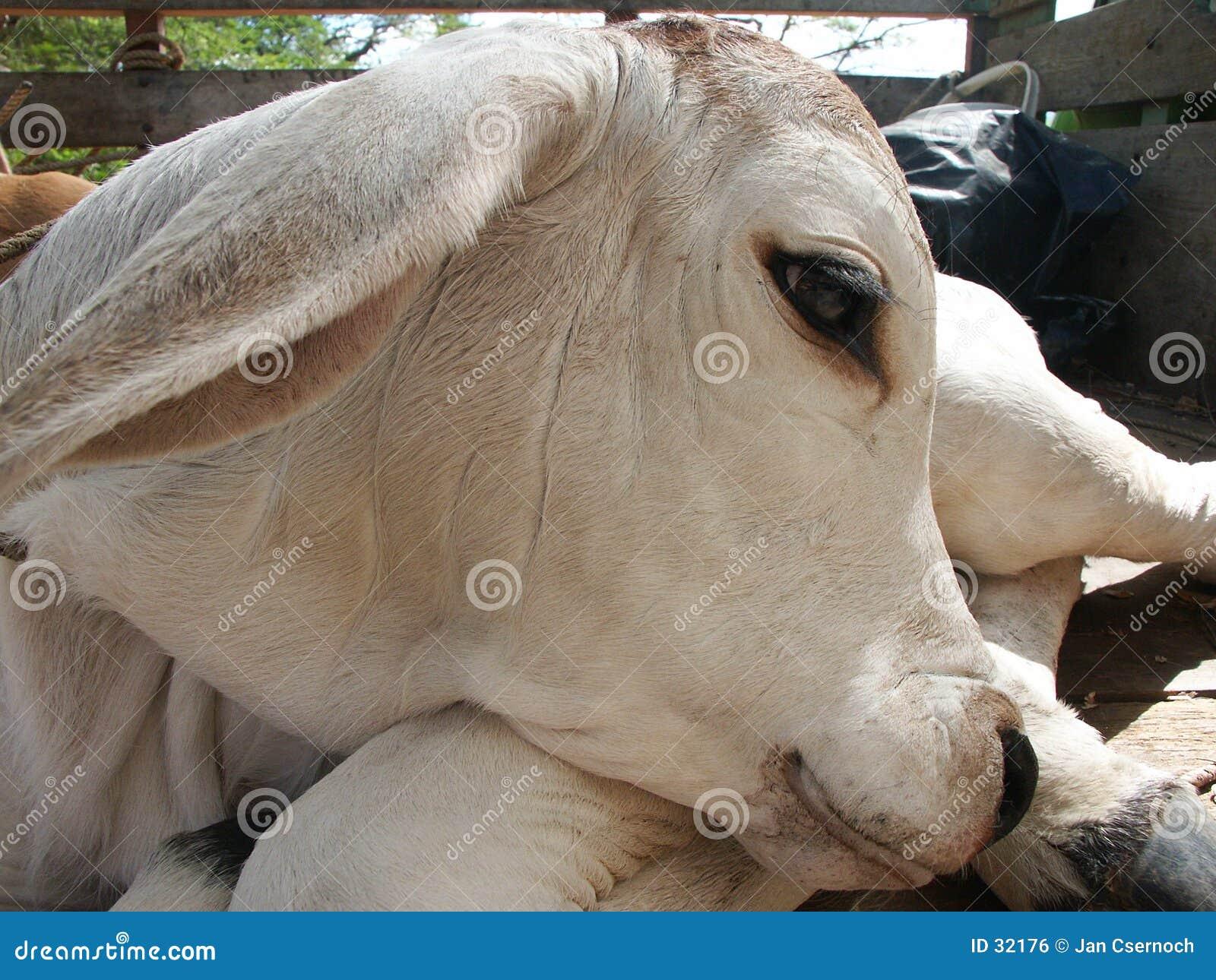 Download Pista de la vaca del bebé foto de archivo. Imagen de becerro - 32176