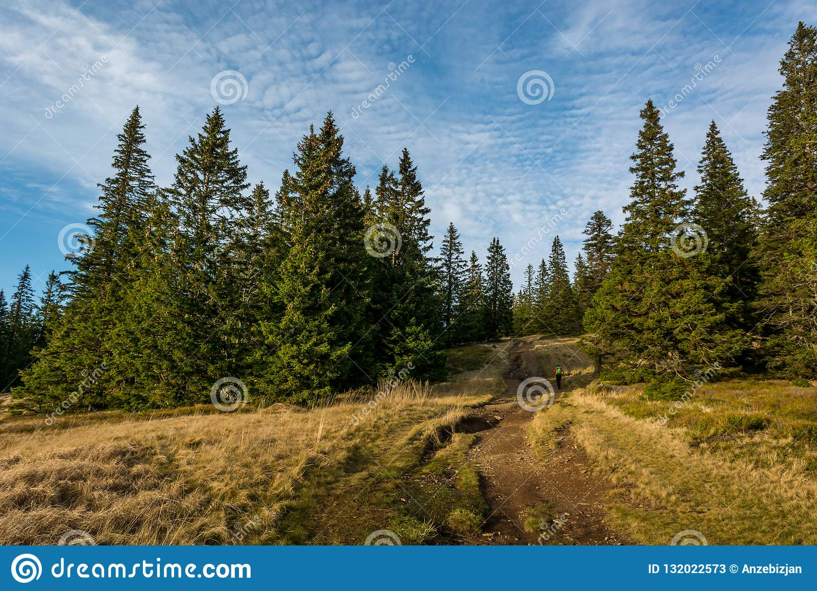 Pista de senderismo que da vuelta en bosque del árbol de pino