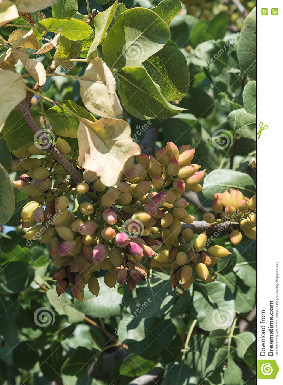 Pistachios On A Tree Branch Stock Image - Image of ...